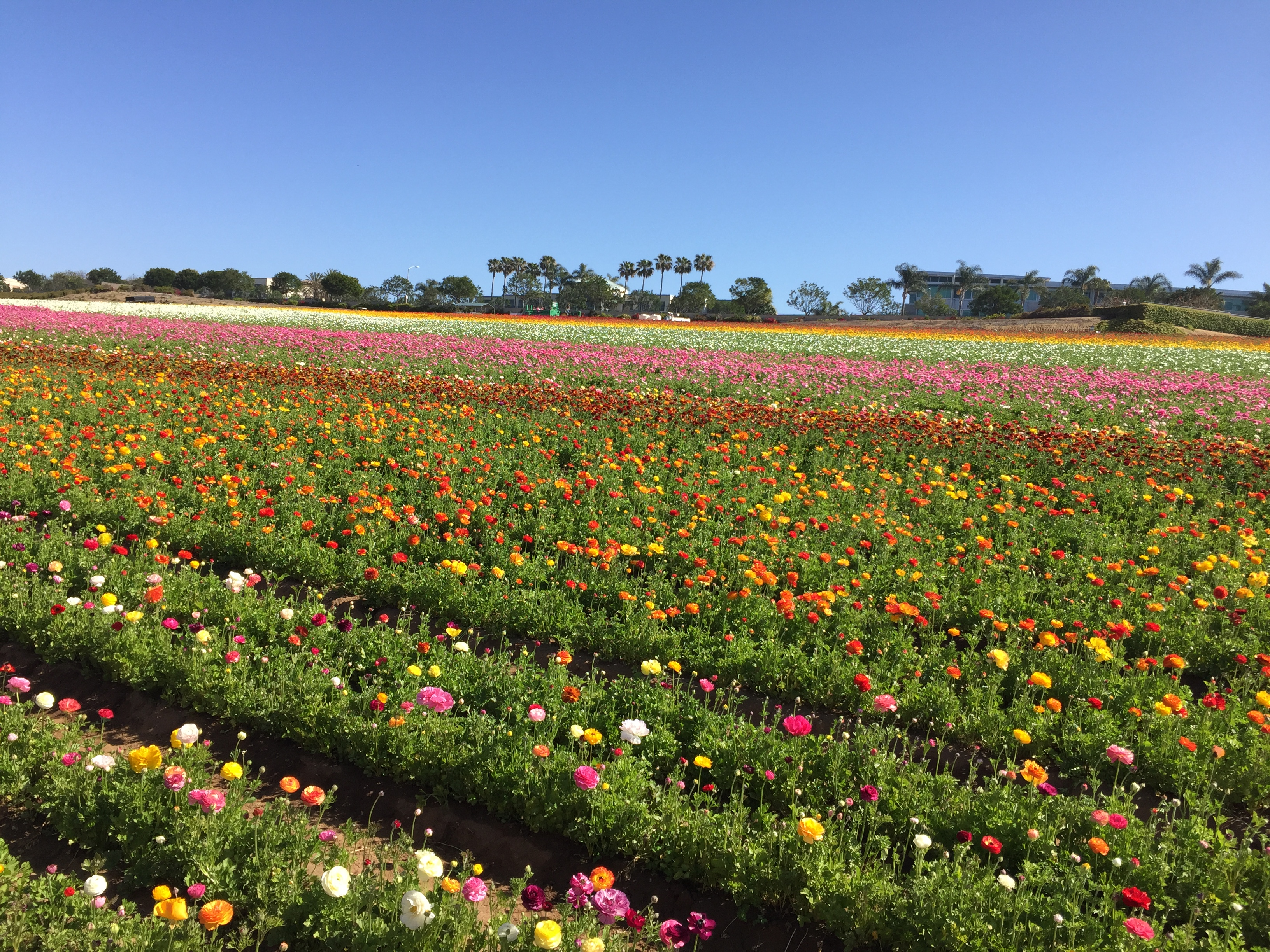 Checking Out The Carlsbad Flower Fields & Premium Outlets – Any Second Now